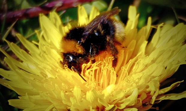 Country diary: the queen bee is a ray of sunshine in a gloomy May